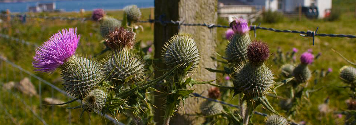 Scottish Thistle - The National Emblem of Scotland